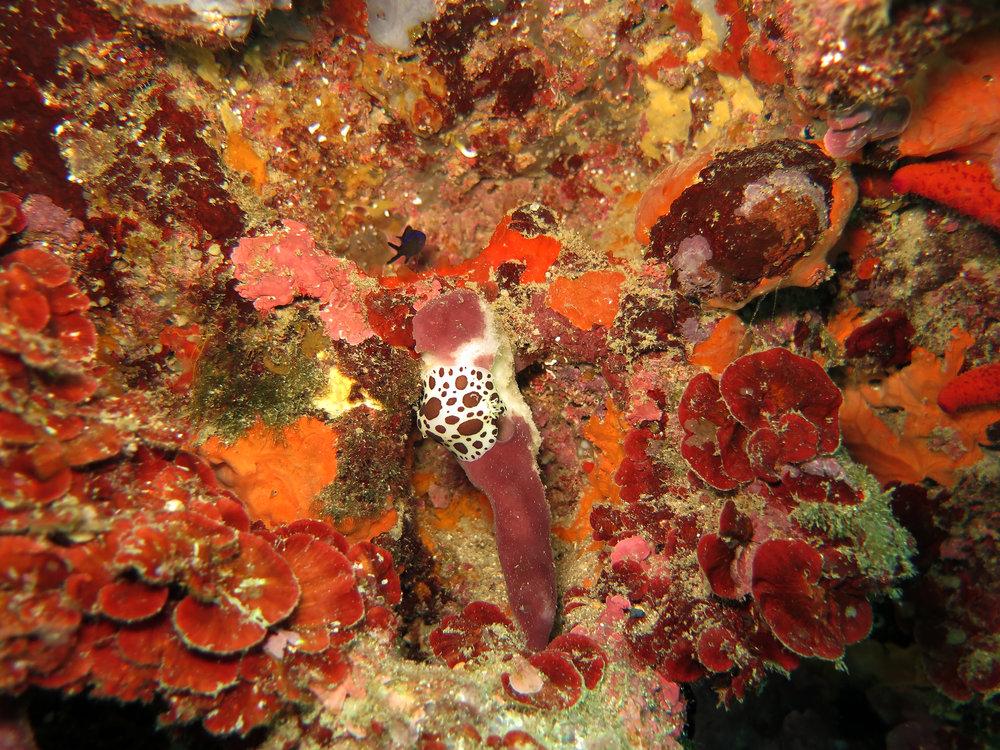 Nudibranch (Peltodoris atromaculata) feeding on stony sponge (Petrosia ficiformis)