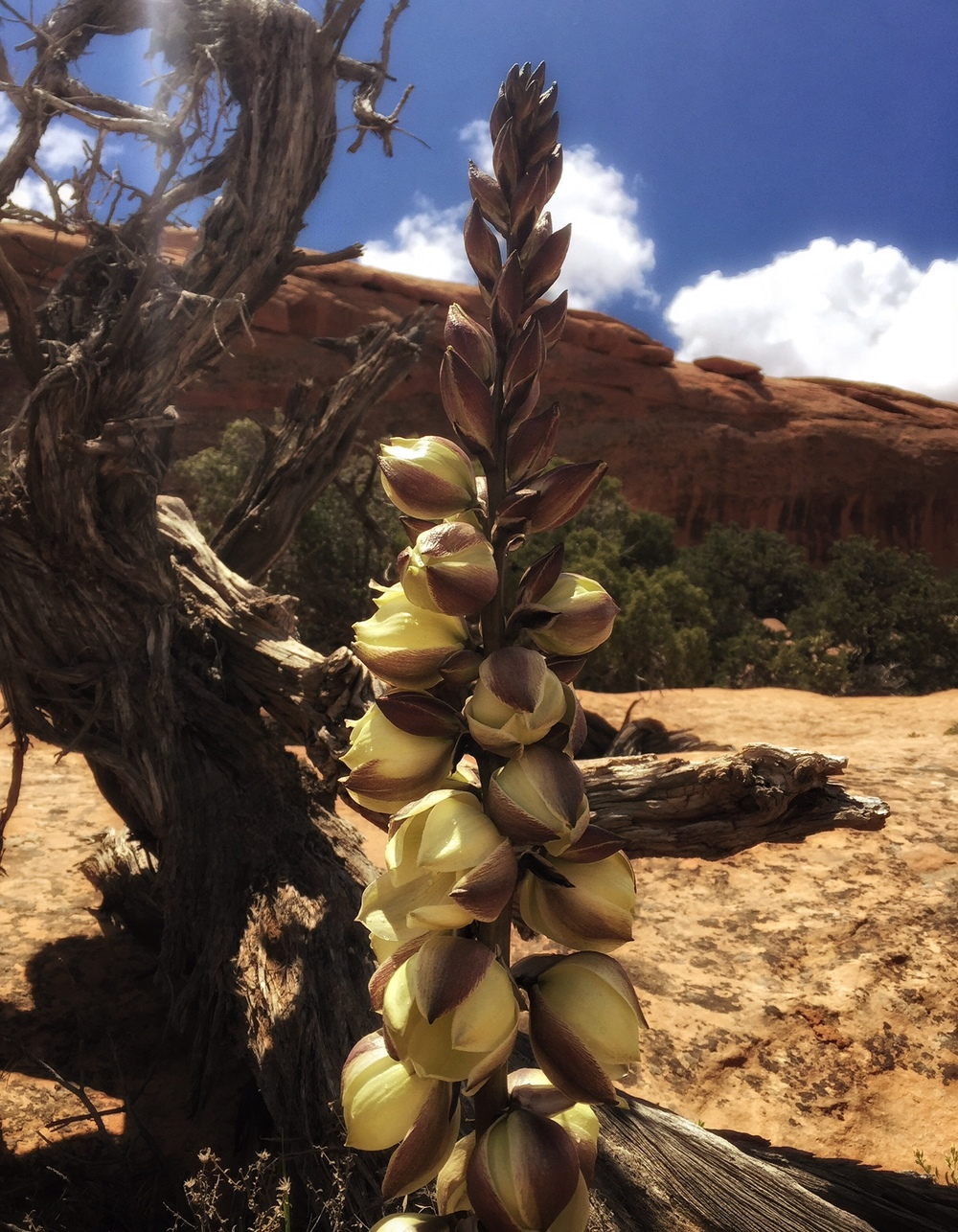 Yucca Flowers in Arches