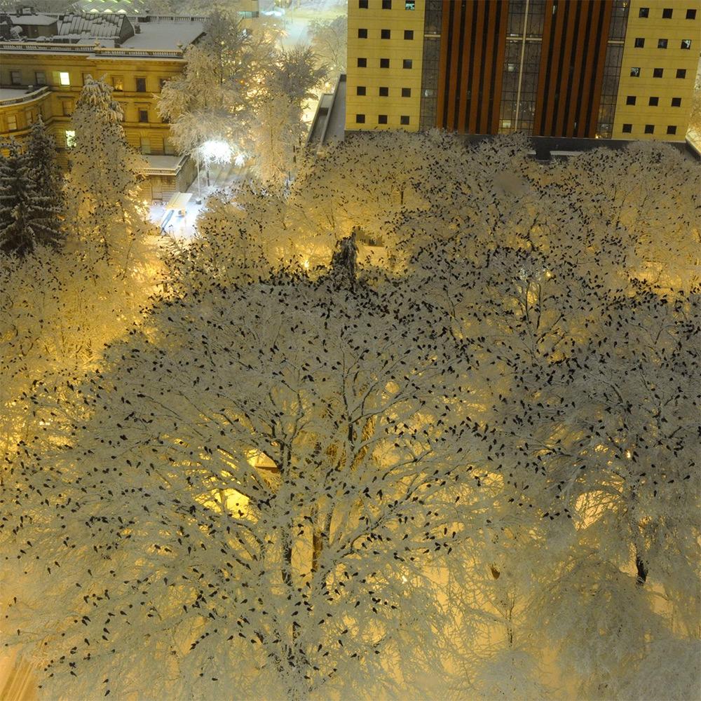 birds atop snowy trees portland