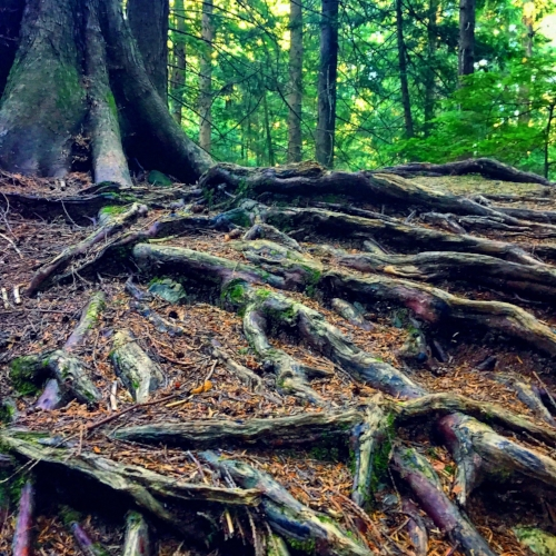 A  massive  tree with beautiful roots on Bowen Island.