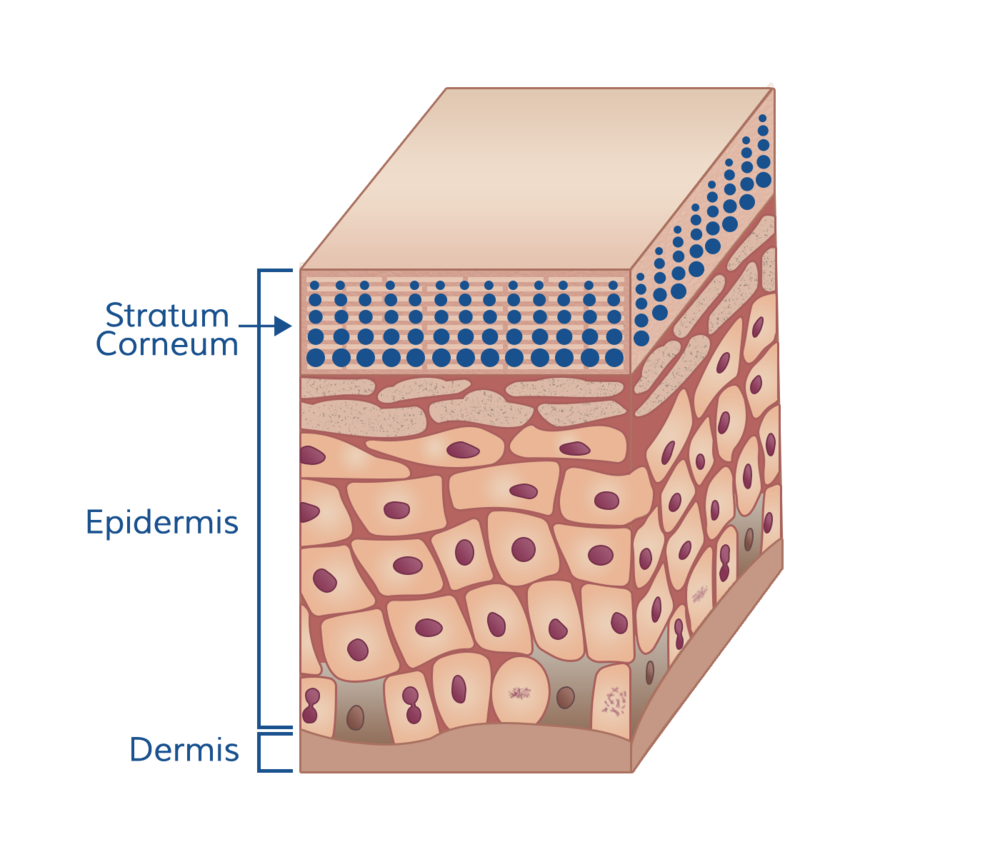 Diagram showing water loss from skin surface