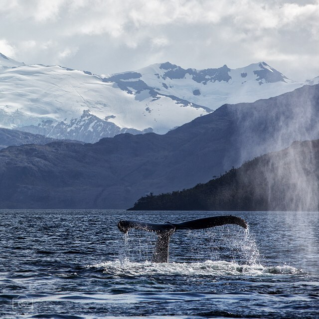 Surrounded by #humpbackwhales for hours, some within arms reach. At one point we counted 37. With historic mountain ranges and in legendary waterways, come experience this exhilarating journey with @gearupadventures