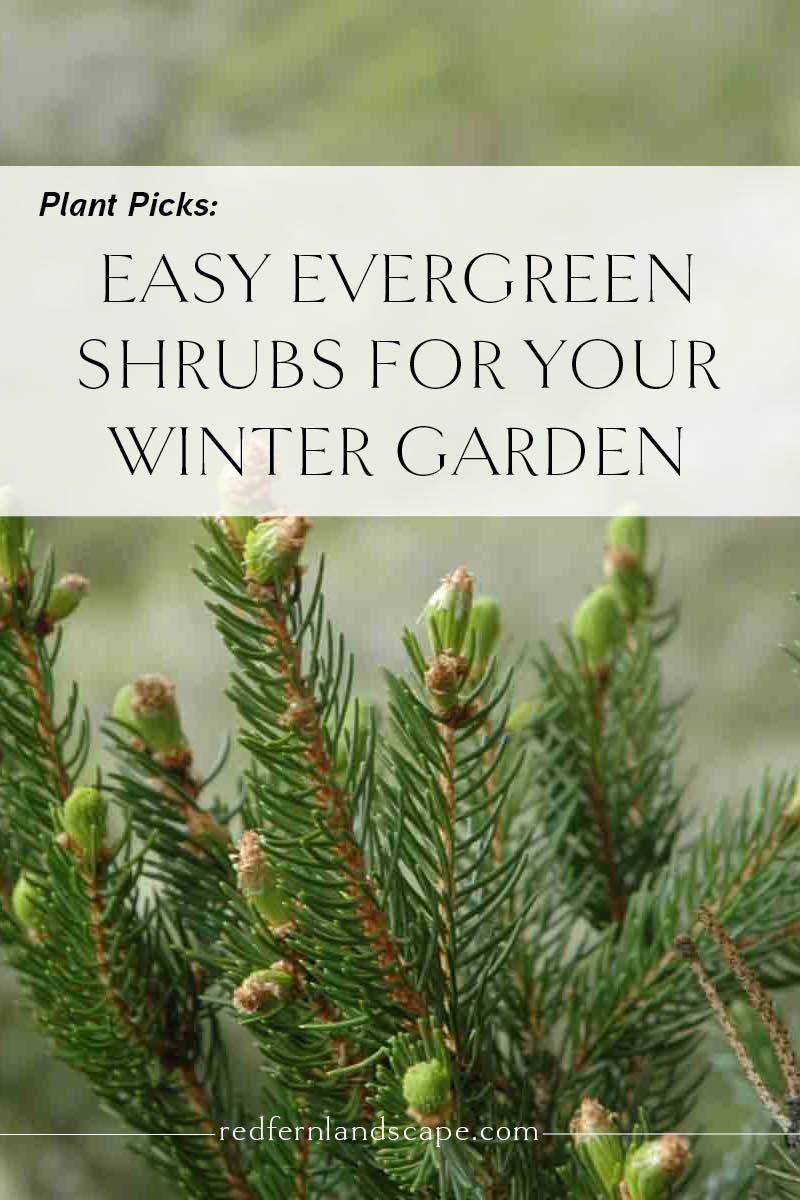 plant picks easy evergreen shrubs for iowa gardens u2014 red fern
