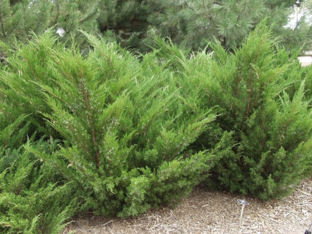 Plant picks Easy evergreen shrubs for Iowa gardens Red Fern