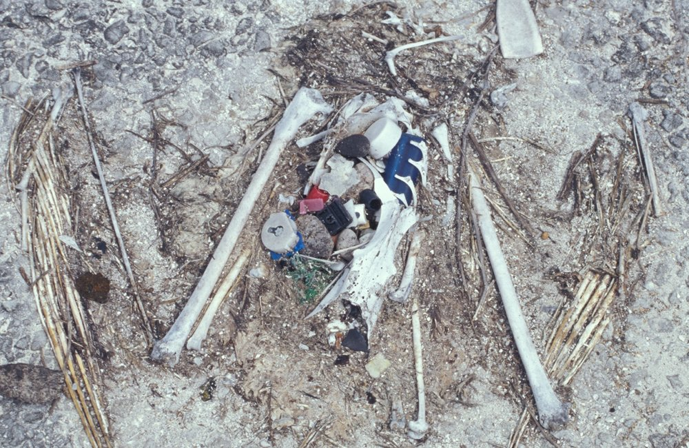 Laysan_albatross_chick_remains.jpg