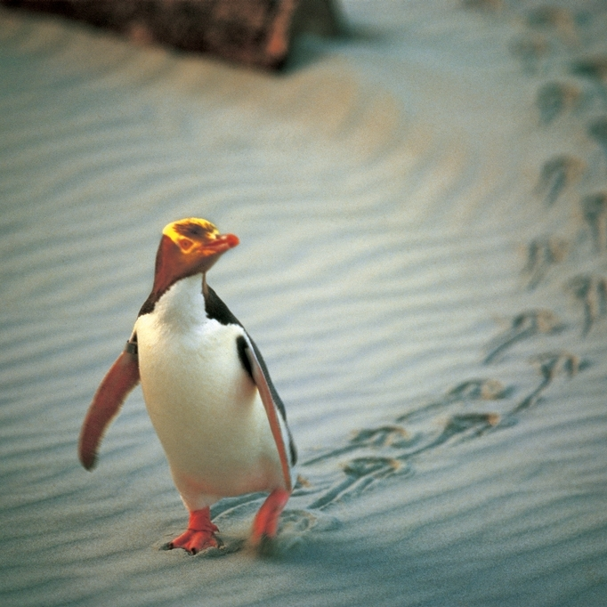 Pinguins-Otago-Dunedin-Plage