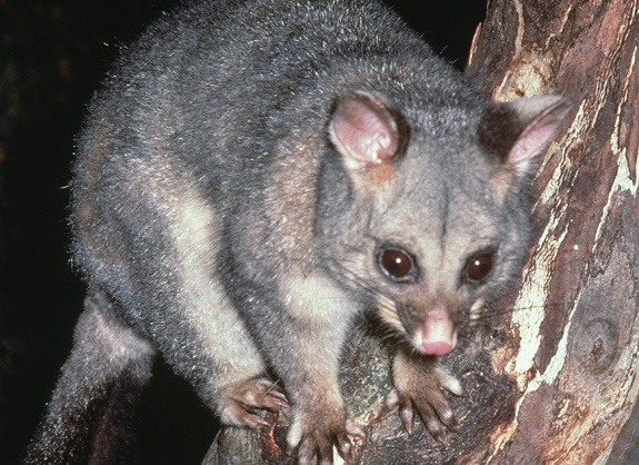 possums.jpg