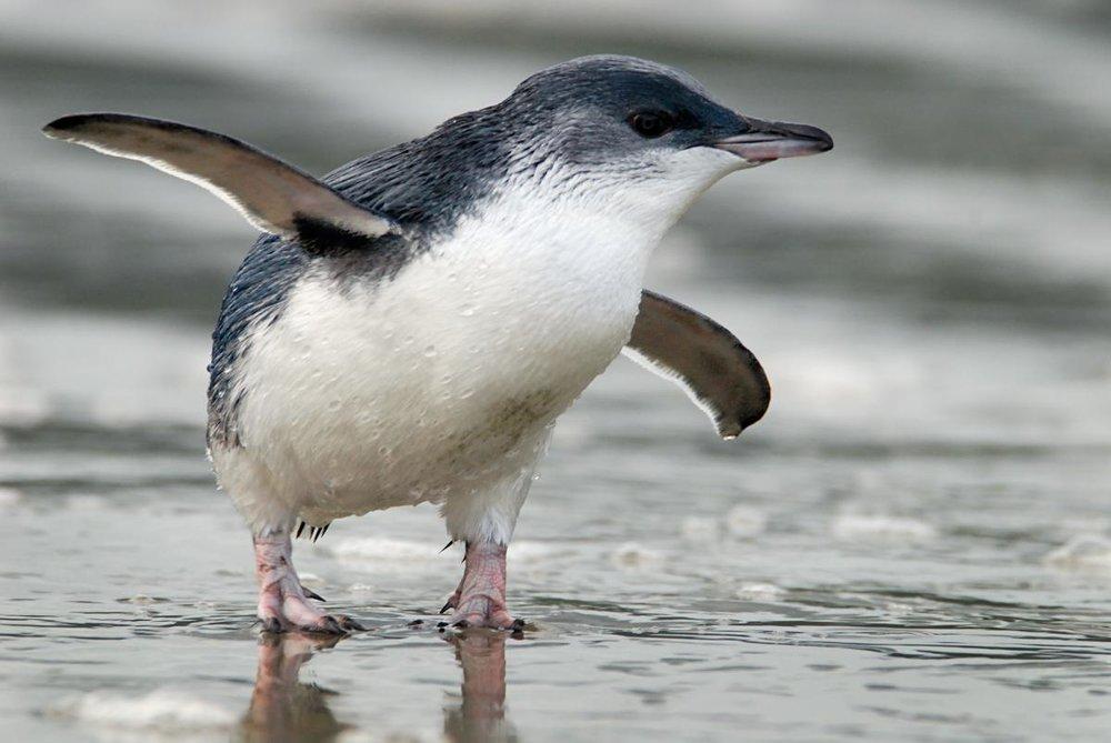 Bluepenguin.jpg