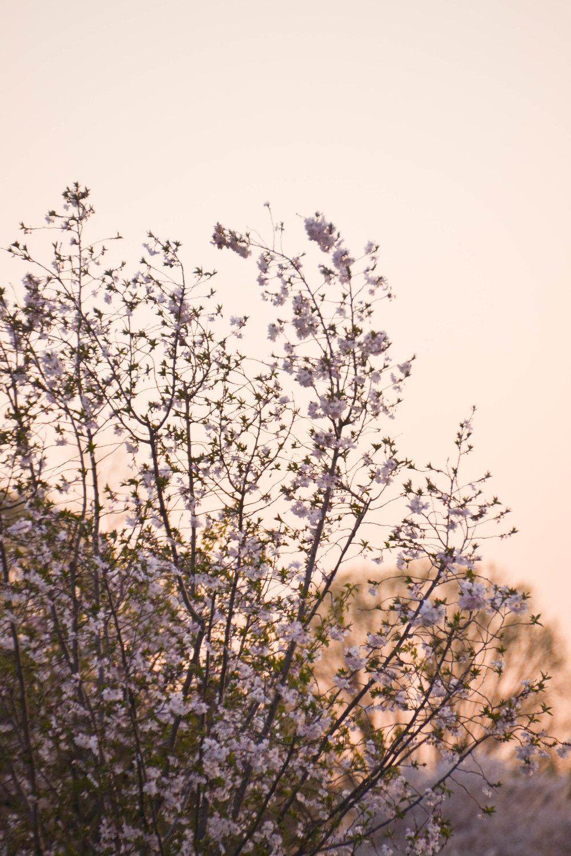 cherryblossoms-3.jpg
