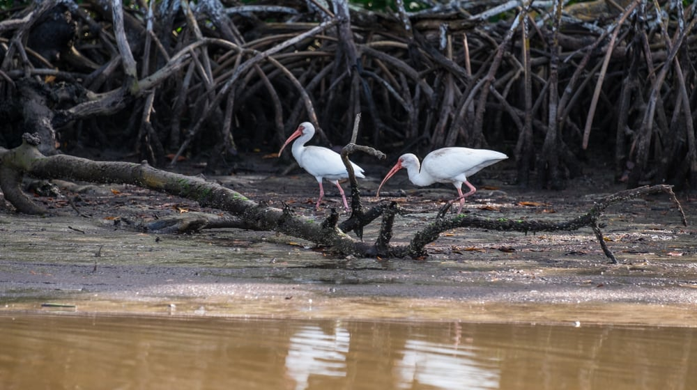 Birds among the mangroves.