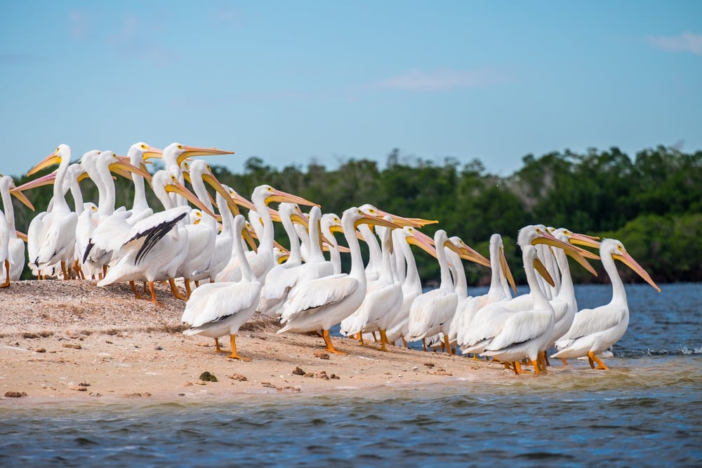 White pelicans on Indian Key.