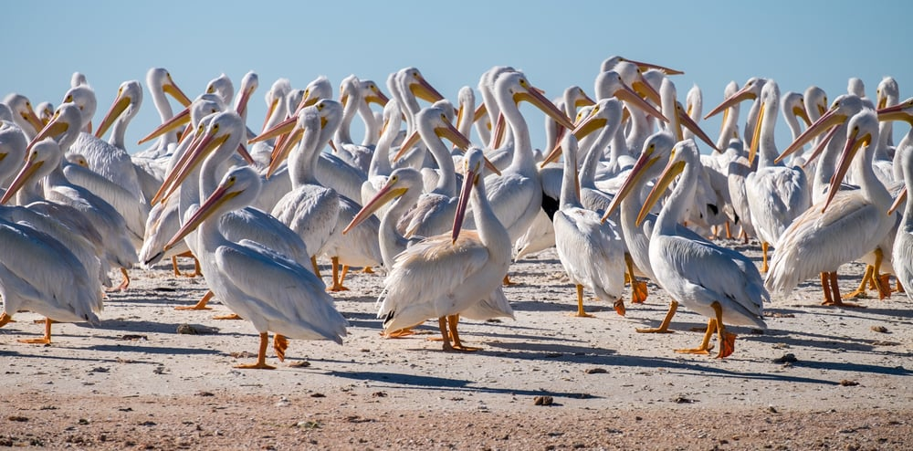 White pelicans up close.