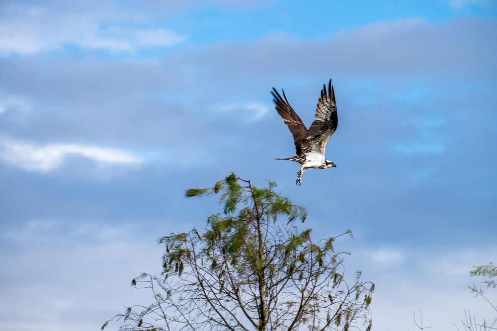 An osprey (Seahawk) in flight. Cacaw!