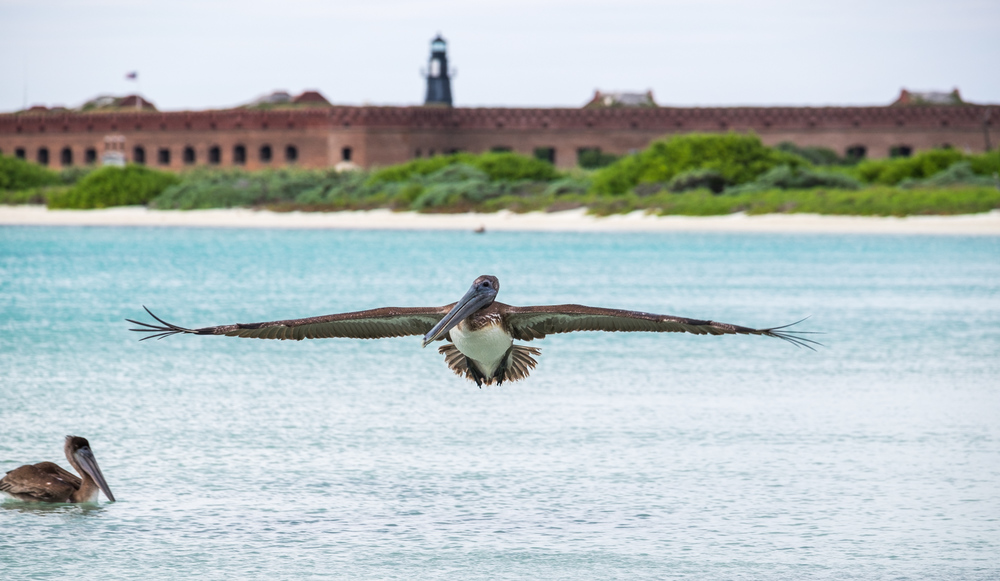Pelicans love the Dry Tortugas.