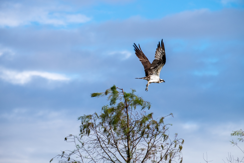Osprey in Everglades National Park