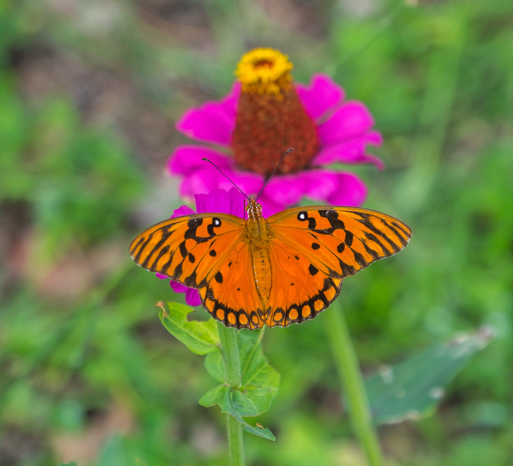 Stef caught a pretty image of this butterfly on a flower.