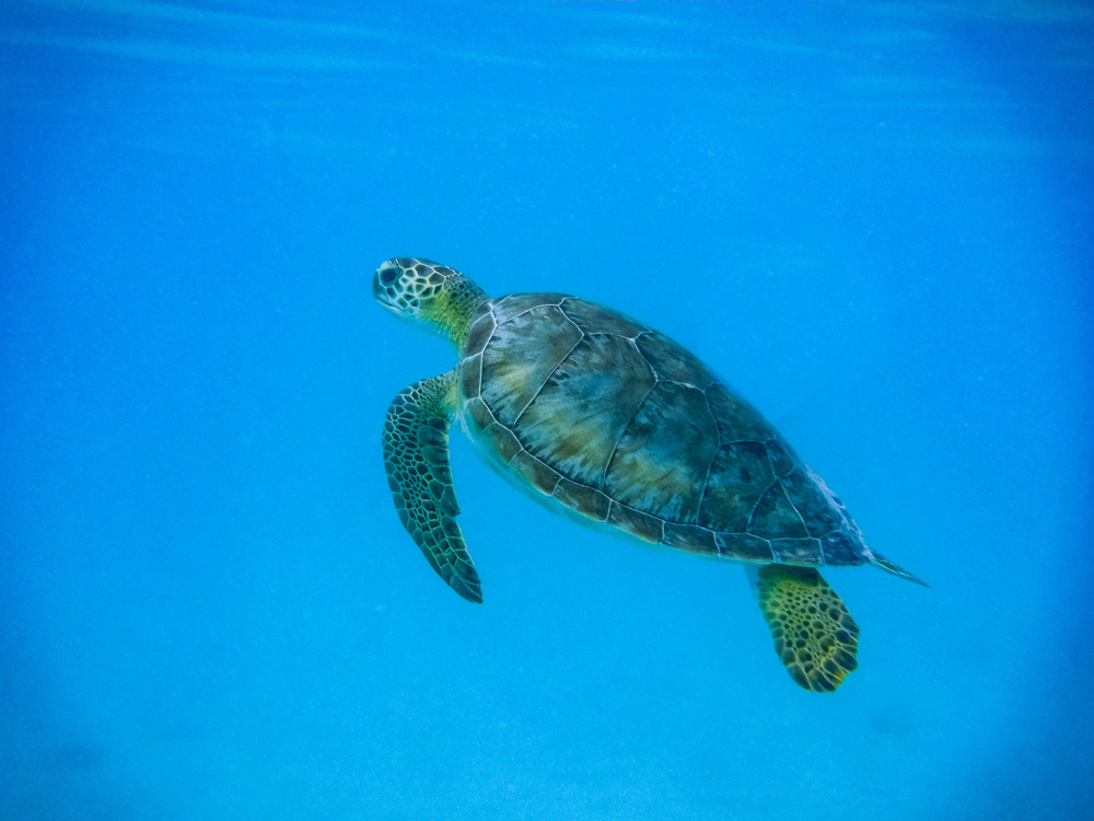 A Green Sea Turtle pauses on the way up for a breath.