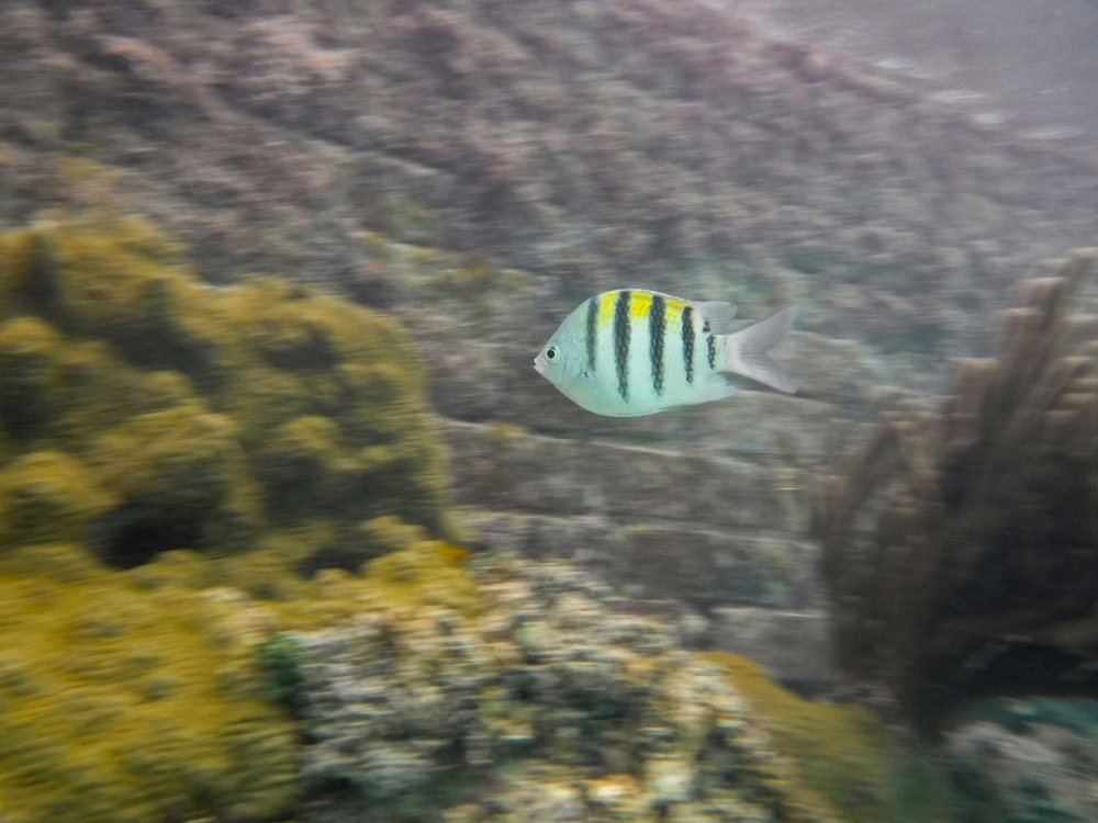 Tang fish in Virgin Islands National Park