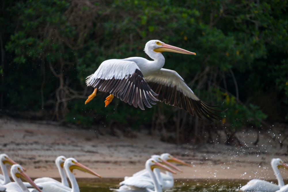 White Pelican in Everglades National Park