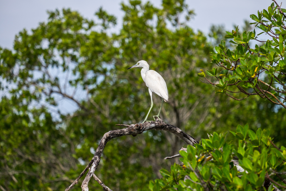 Great Egret in Everglades National Park