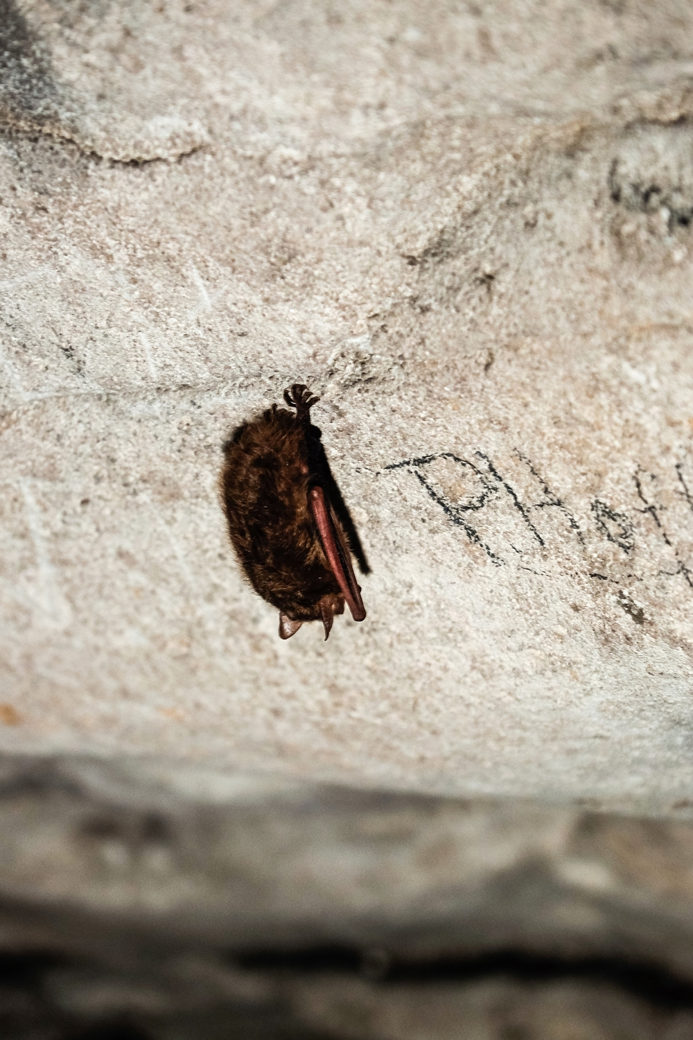 Tri-colored bat in Mammoth Cave National Park