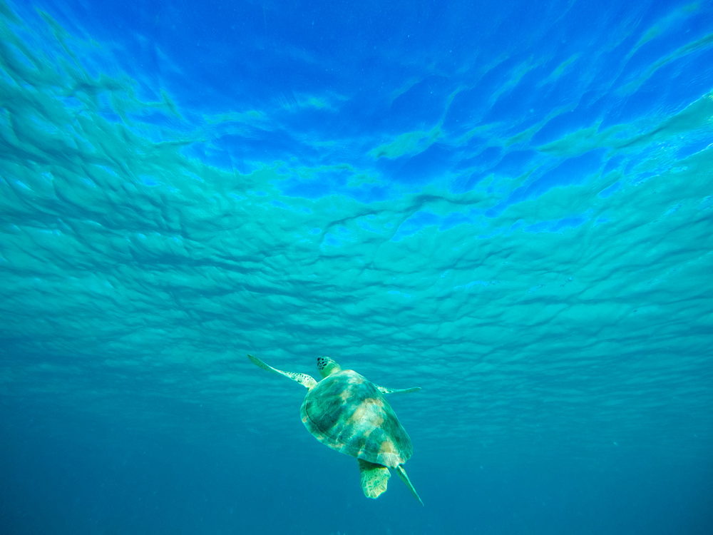 Sea Turtle in Virgin Islands National Park