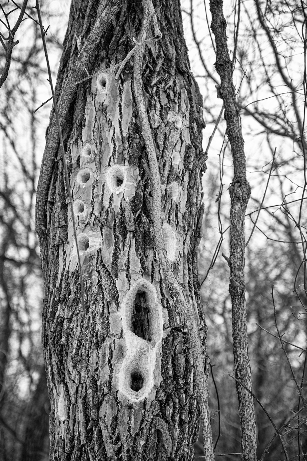 We spotted the work of one of the woodpeckers in the area. These are REALLY big holes! Must have been a lot of headbanging.