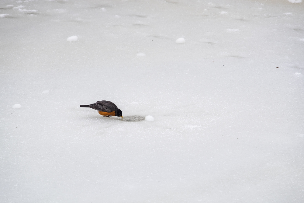 Little bird takes a drink from a small opening in the frozen lake.