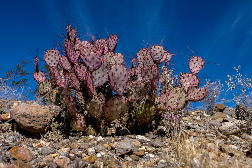 Purplish cactus provide some different color in the dry desert.