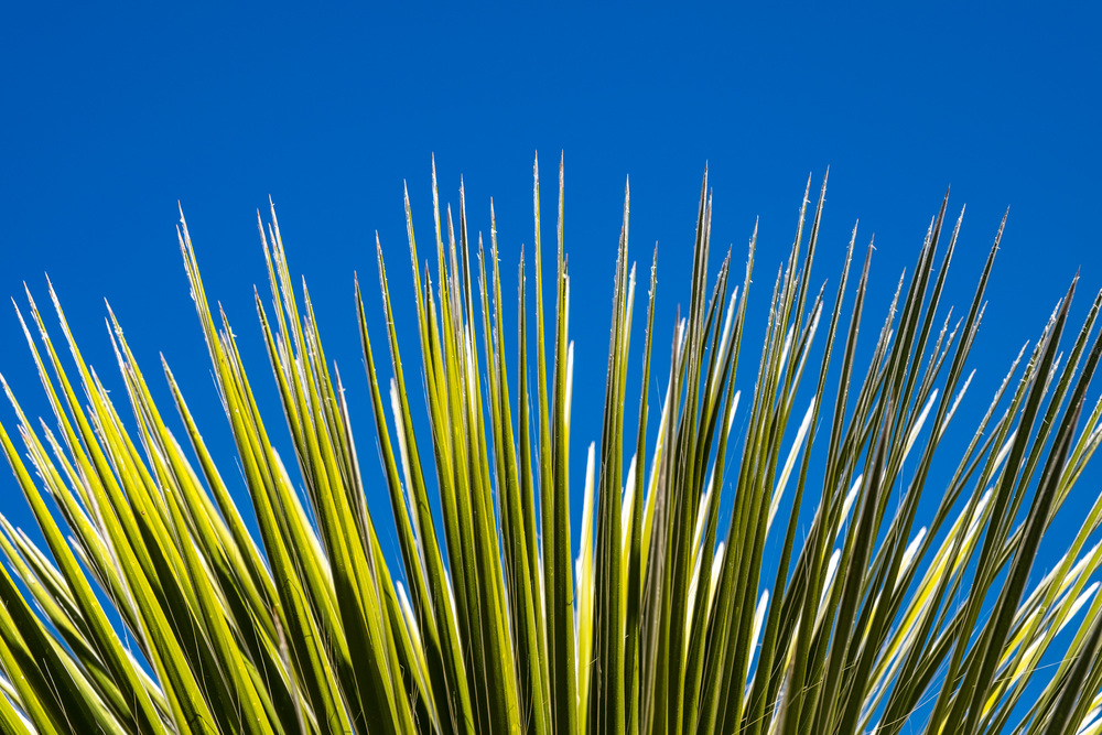 Green and blue..detail of cactus leaves against the blue sky.