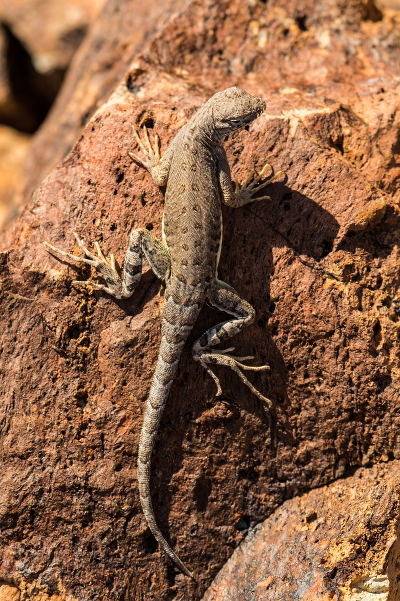Lizard in Big Bend National Park