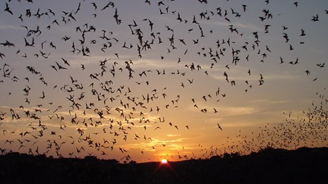 From April through mid-October, visitors watch the nightly spectacle of several hundred thousand Brazilian free-tail bats exiting Carlsbad Cavern in search of food. Photo credit: Nick Hristov/National Park Service