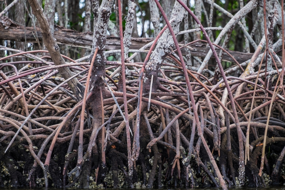 Red mangrove trees at Everglades National Park in Florida.