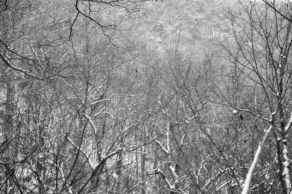 Snow covered hickory trees in Shenandoah National Park in Virginia.