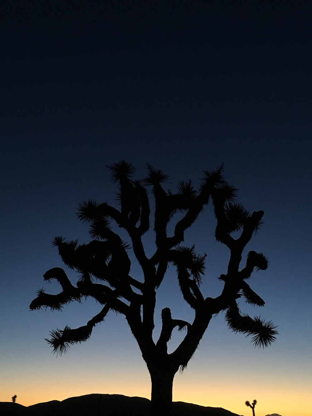 A Joshua Tree as the evening falls to night in Joshua Tree National Park, California.