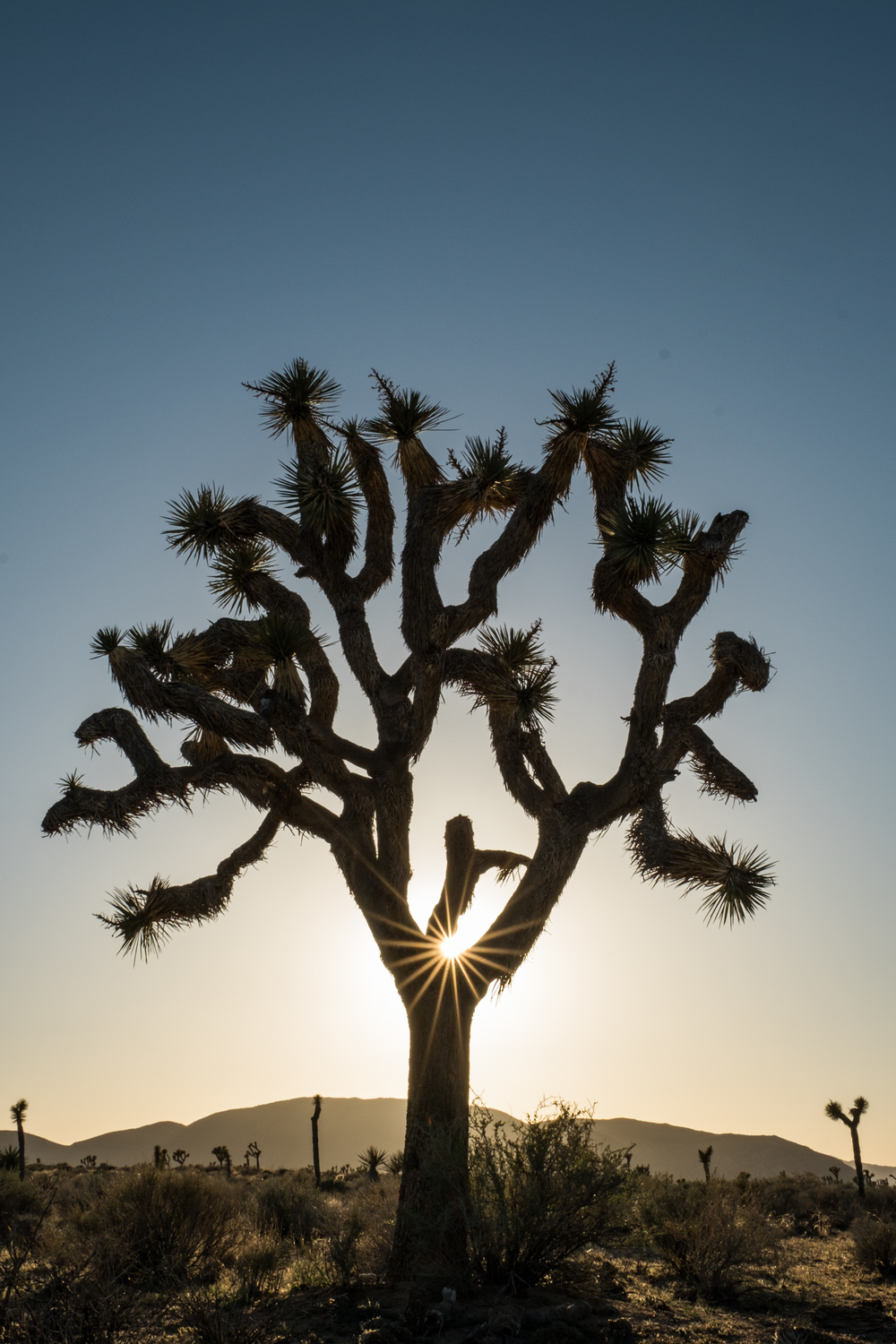More Joshua Trees at sunset. They never get old. I love the silhouette of the Dr Seuss-like branches.