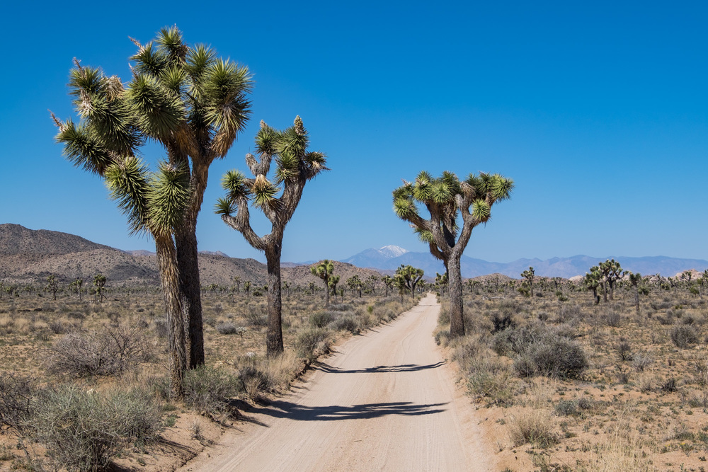The dirt roads winds on, through the Joshua Trees.