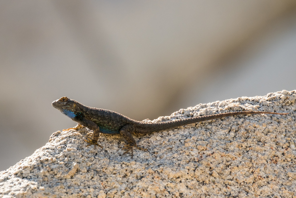A Chuckwalla lizard. These little beasts are everywhere.