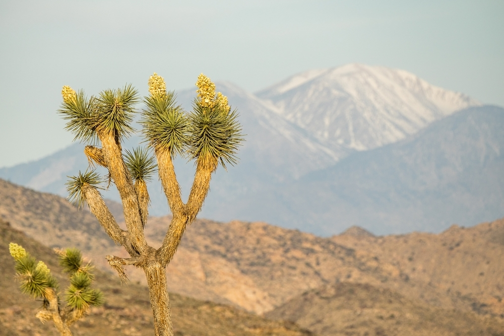 Joshua trees in bloom.