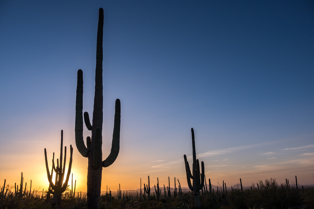 The magical saguaro tree standing tall on the desert skyline.