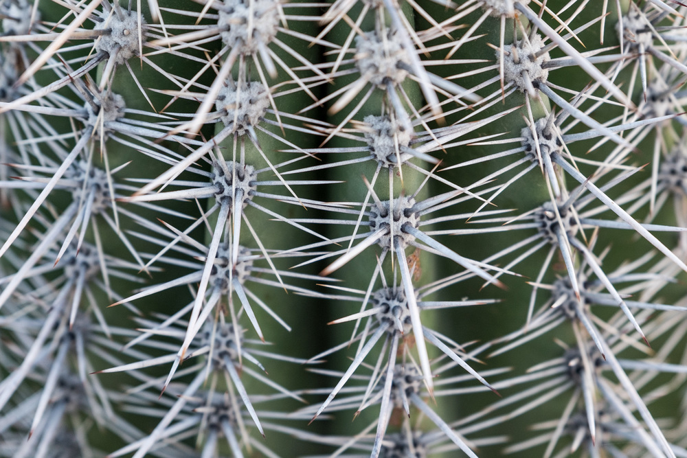 Cactus thorns at Saguaro National Park in Arizona.