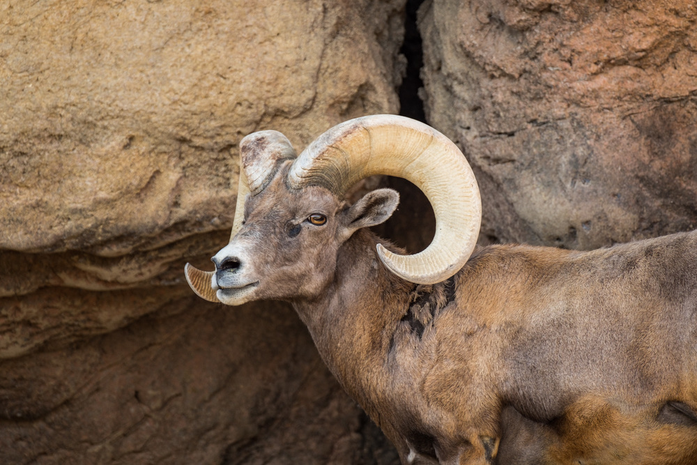 Big horn sheep at the Arizona-Sonora Desert Museum in Tucson, near Saguaro National Park (west).