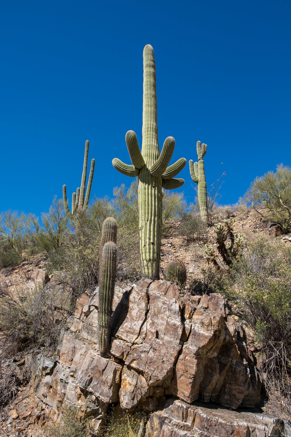 These cacti can grow from just about any precipice.