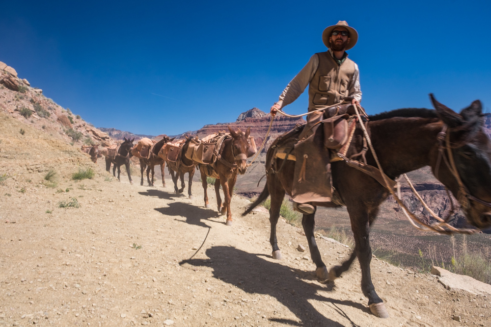 One of the cowboys leading the mule train.