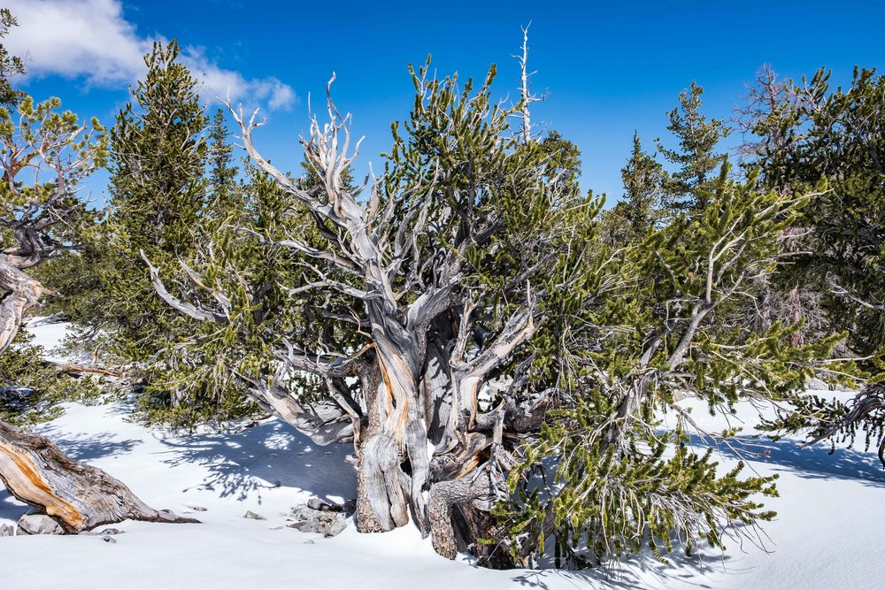 The world's oldest living non-clonal organism: the Bristlecone pine tree in Great Basin National Park, Nevada.