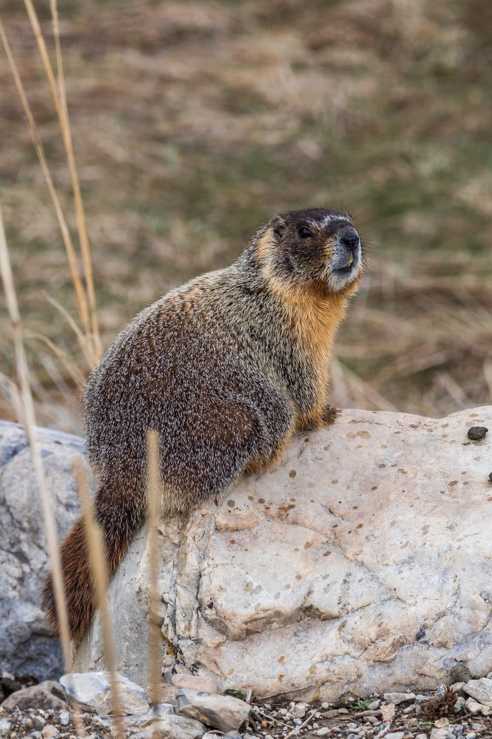 Low and behold, we saw some marmots!