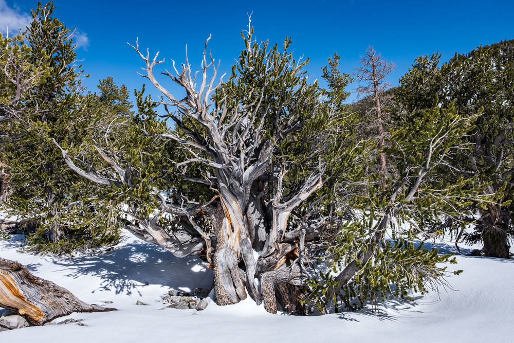 Our first glimpse of the oldest living trees in the world....the Bristlecones.