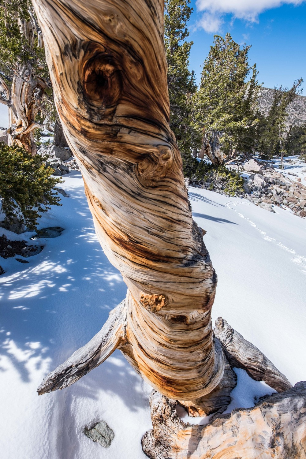 The oldest living non-clonal thing on the planet! The Bristlecone pine tree.