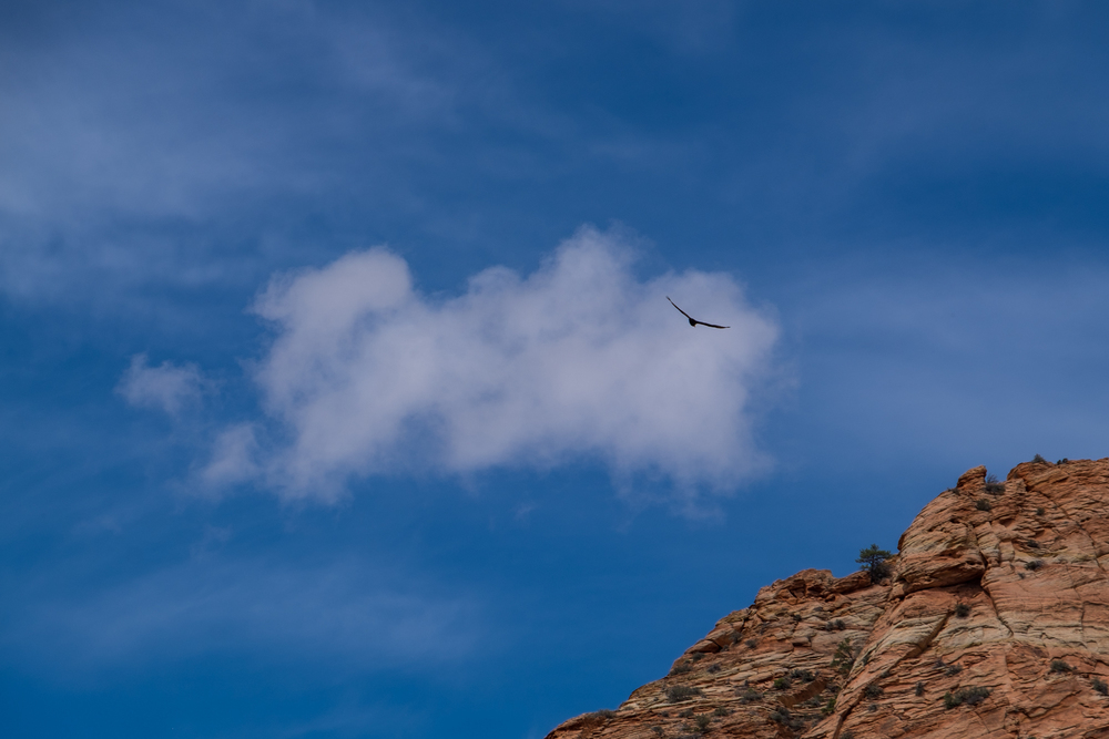 A raven soars in Zion National Park in Utah.