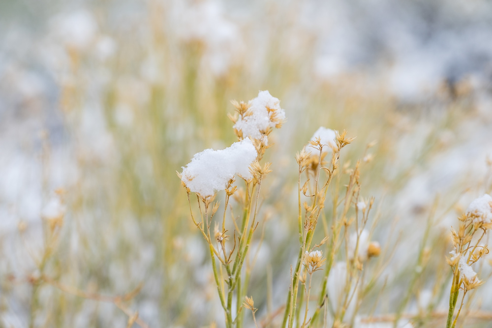 Snow tops brush in spring in Great Basin National Park in Nevada.